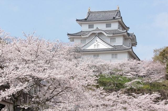大多喜城 桜.jpg